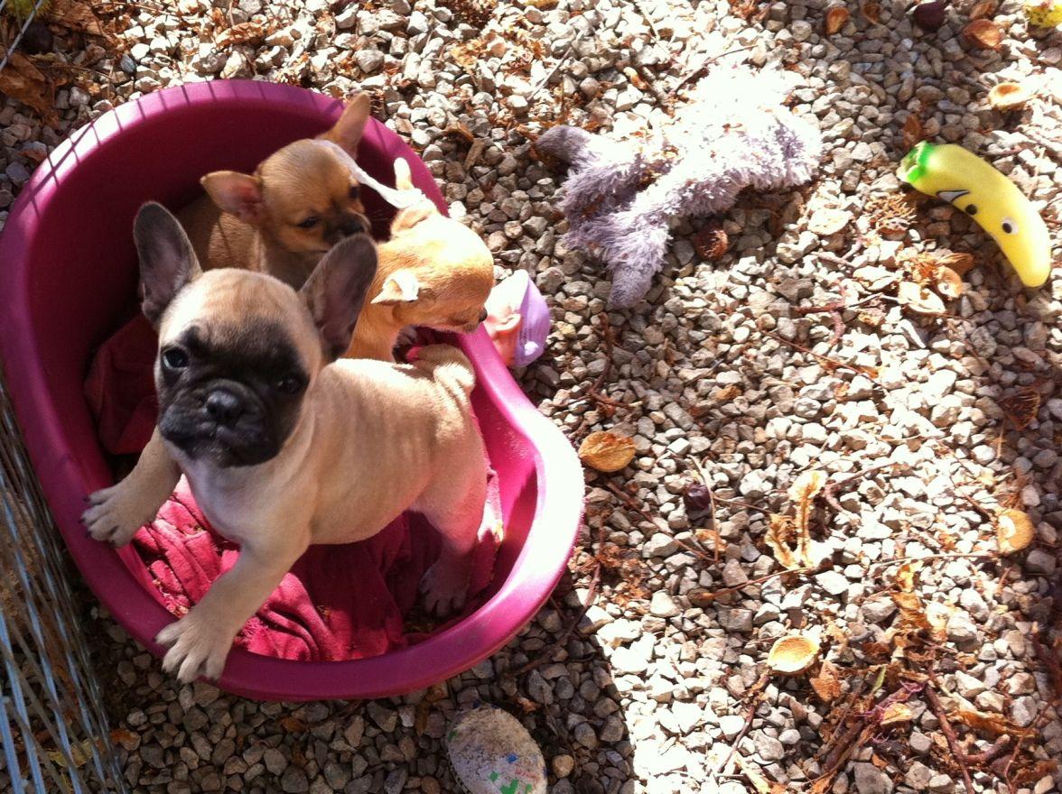 A l'isolement avec les petits chihuahuas (photos de l'élevage des Petits Lutins Coquins)